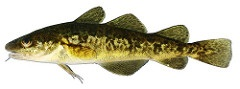 Image of an Atlantic Tomcod