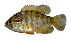Image of a Banded Sunfish