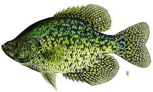 Fishing for panfish nys dept of environmental conservation for Best crappie fishing times