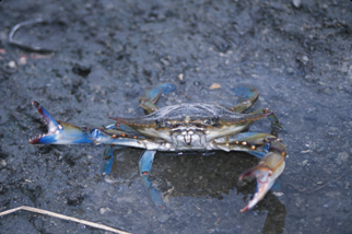 blue claw crab in the muddy shores