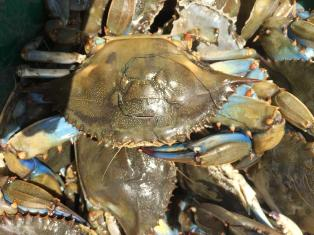 a photo of a bluecrab