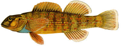 Bluebreast Darter Image