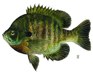 Fishing for Panfish - NYS Dept  of Environmental Conservation