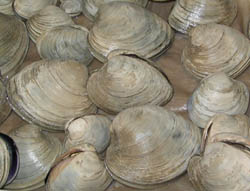 hard clams, also known as quahogs