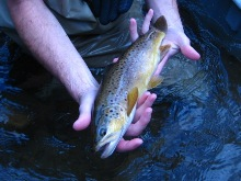 Wild brown trout from Clear Creek.
