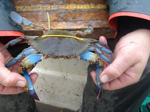 A blue crab with an across the back tag and an anchor tag.