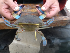 Photo of person holding a Blue Crab by its two front claws