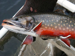Crystal Lake brook trout image