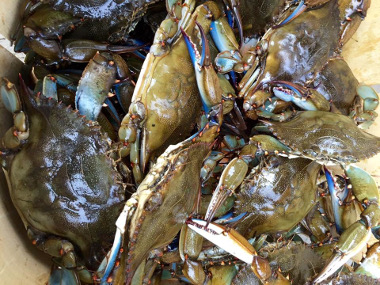 blue crabs in a bucket