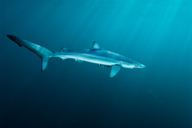 Blue shark swimming in open ocean