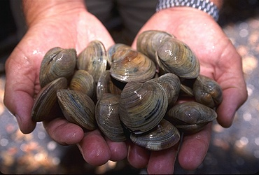 multiple hard clams in a person's hands