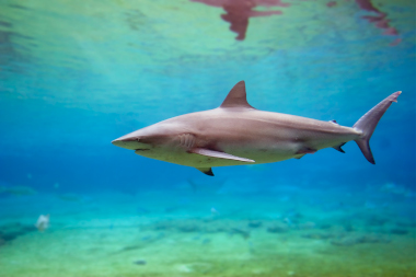 Dusky shark swimming in shallow water