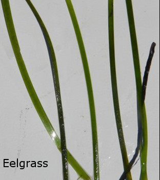 Eelgrass displayed on a white background