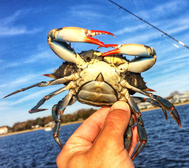 Mature female blue crab