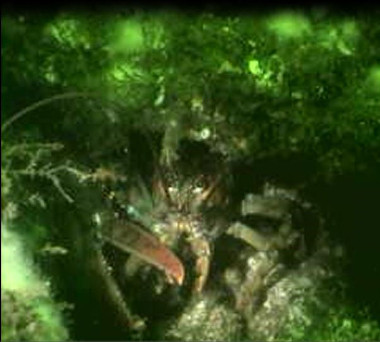 An American Lobster protecting it's lair