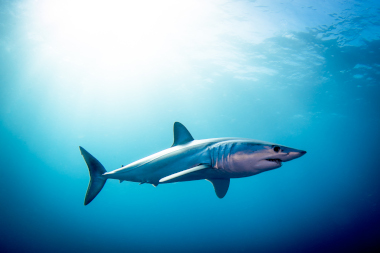 Shortfin mako shark swimming in open ocean