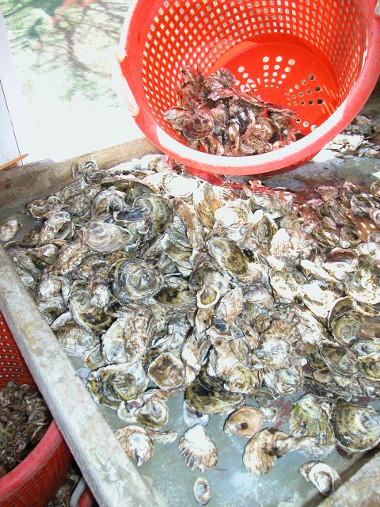Oysters in a colander and culling table