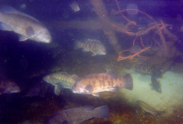 Fish swimming around submergered material on Moriches Reef