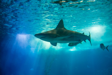 Sandbar shark swimming near ocean surface
