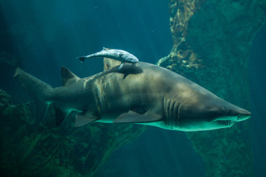 Sandtiger shark swimming with other fish