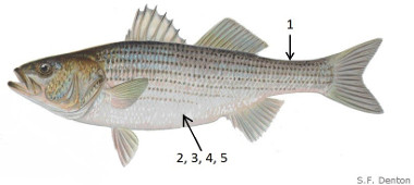 Image of a Striped Bass with numbers corresponding where to which agency or organization to report the tag to.