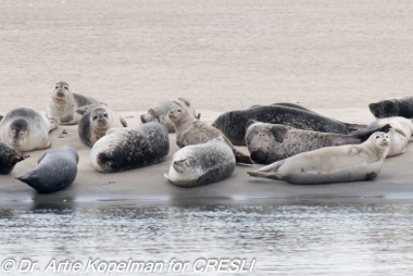 Image of Harbor seals relaxing on the beach next to the water