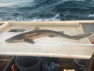 Spiny dogfish shark on measuring board