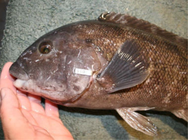Tautog with tag attached to gill plate with the tag information visible.