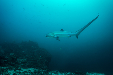 Thresher shark swimming in open ocean