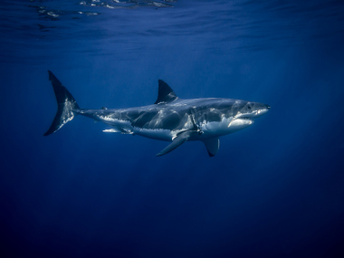 White shark swimming in open ocean