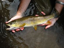 Nineteen inch wild brown trout from East Koy Creek.