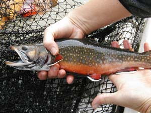 Photo of Brook Trout