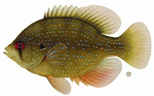 Bluespotted Sunfish Image