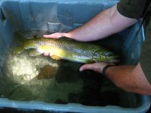 Technician holding 21 inch wild brown trout caught during Elm Creek survey.