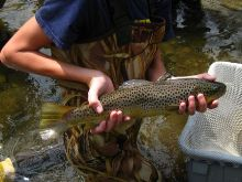 Technician holding 19 inch wild brown trout from Elton Creek.