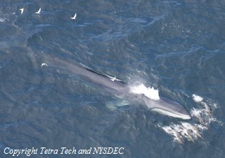 Aerial photograph of a finback whale