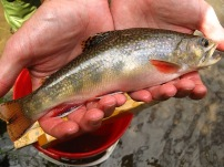 Ford Brook wild brook trout