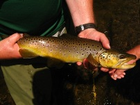 18.5 inch Ford Brook wild brown trout