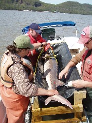 Adult Atlantic caught and tagged in Haverstraw Bay, 2007