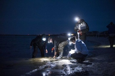 DEC and Cornell staff tagging and measuring horseshoe crabs