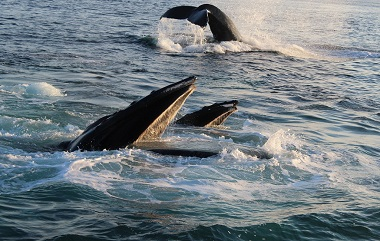 Several humpback whales feeding in the ocean