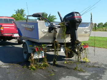 Boat trailer with aquatic invasive plants hanging off of it