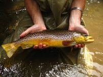 Ischua Creek 19 inch wild brown trout
