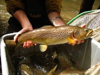 Ischua Creek 23.5 inch wild brown trout