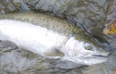 Steelhead that are fresh out of the lake are often very silvery like this Chautauqua Creek fish