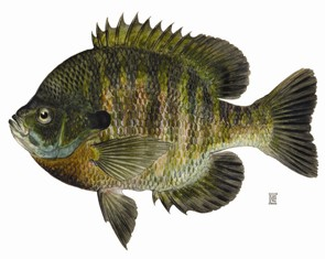 Image of a Bluegill