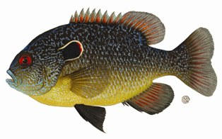 Northern Sunfish Image