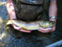 Technician holding 20 inch wild brown trout from Mansfield Creek.