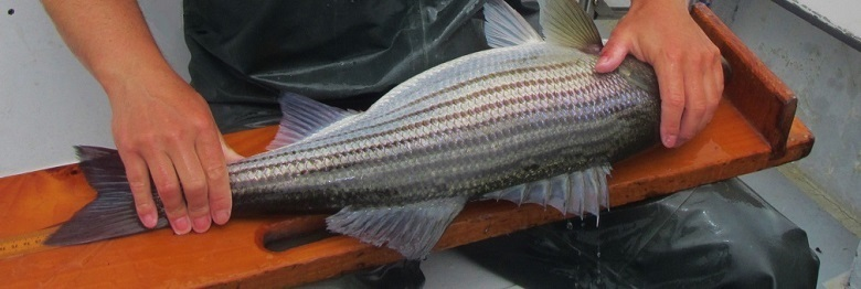 Fishery observer measuring a striped bass