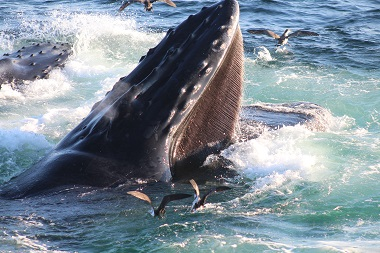 Photograph of a humpback whale feeding in the Great South Channel